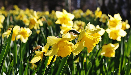 Seasonal Gift Cards For all Occasions - Daffodils