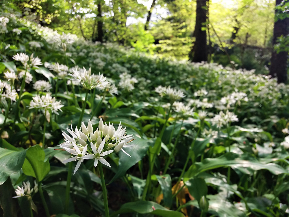 The woodland floor covered in white flower heads and green leaves.