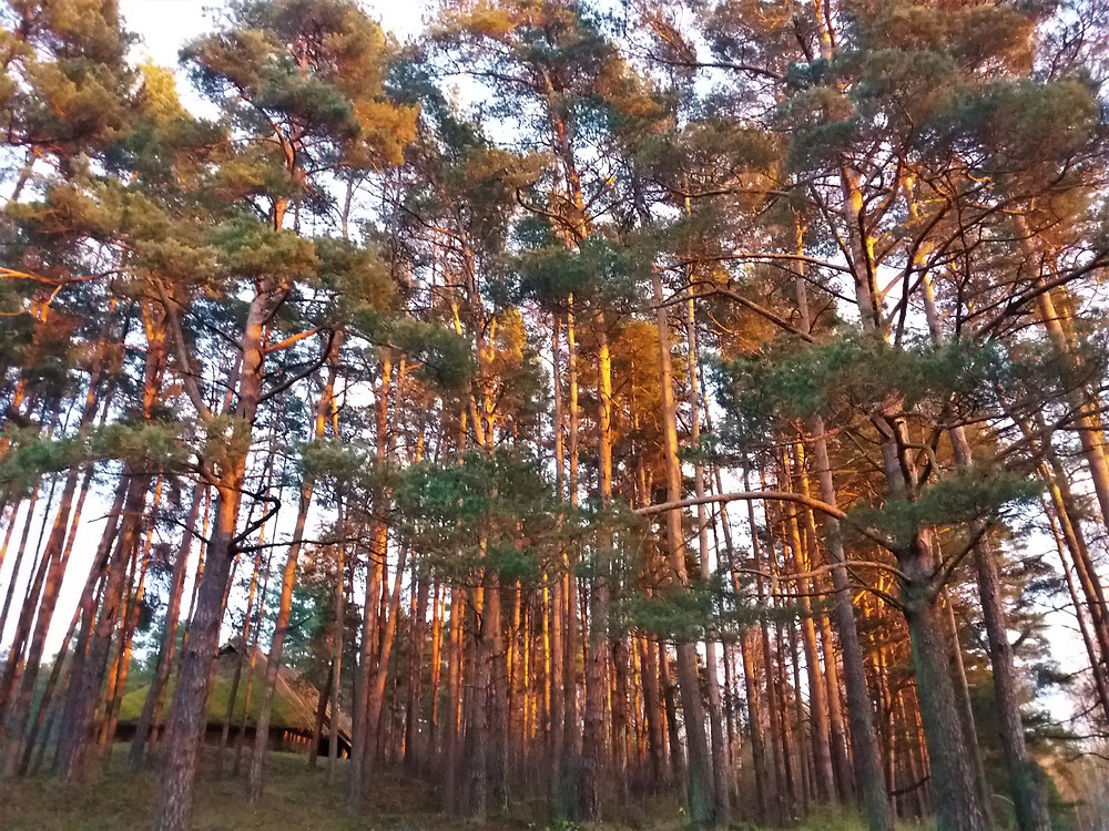 The Pine Trees of The Ethnographic Open-Air Museum of Latvia At Sunset ©MDHarding