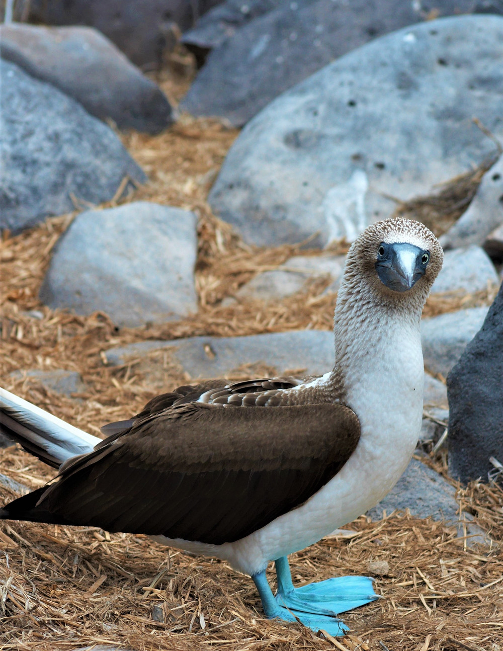 Close-up of a Blue-Footed Booby.
