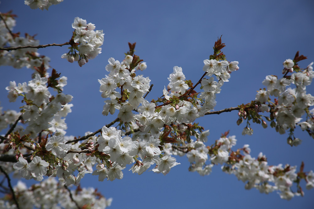 Bright blue skies with pink cherry blossom.