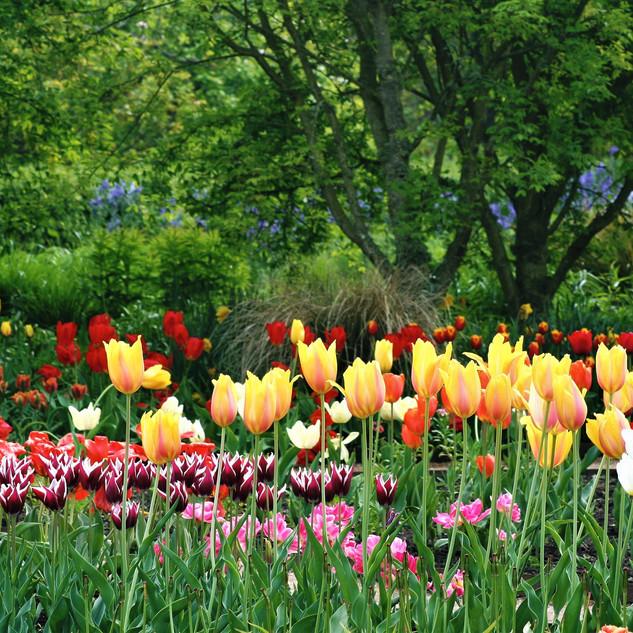 Tulips In Scotland ©MDHarding.JPG