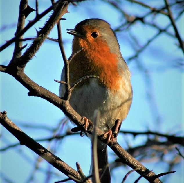 Robin_at_Edinburgh_Botanic_Garden_©MDHa