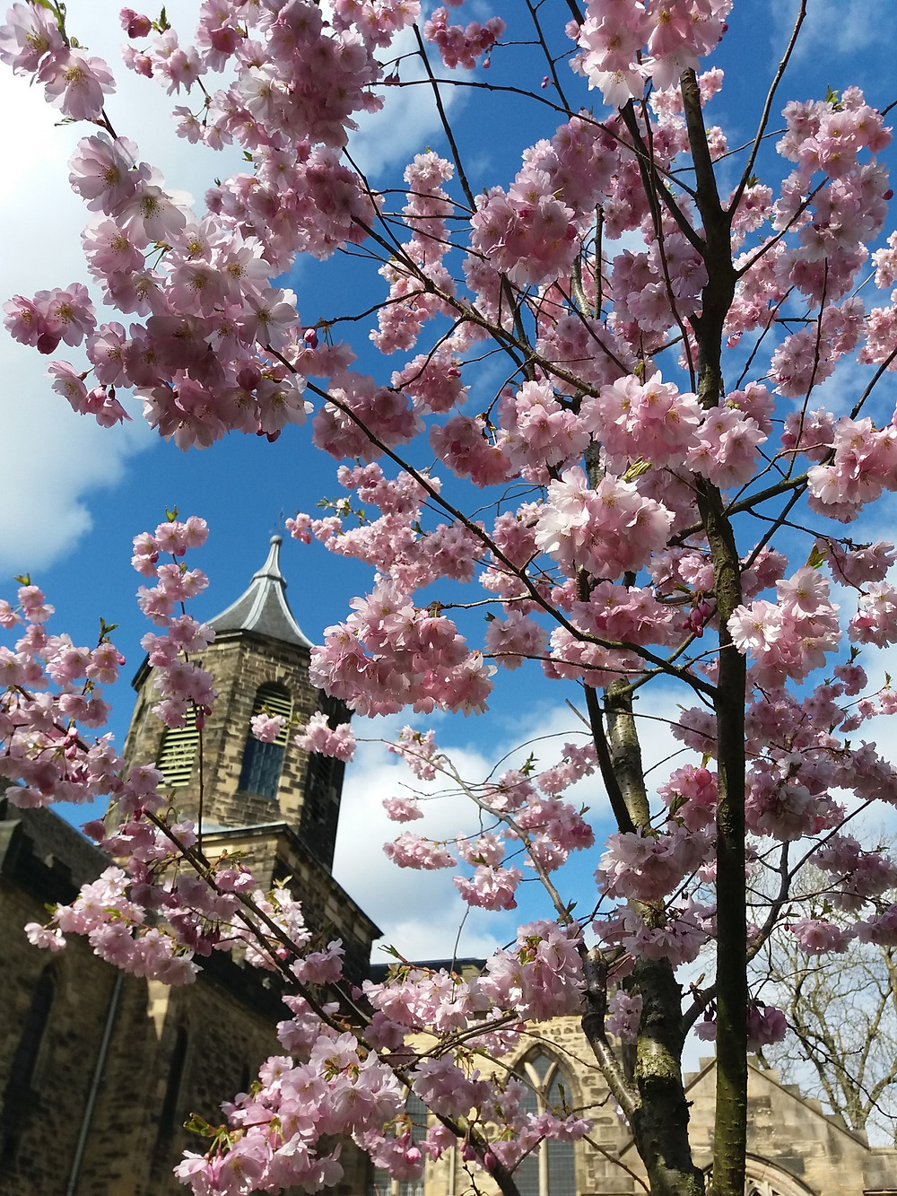 Portrait of cherry blossom tree with Falkirk Trinity Church behind it.