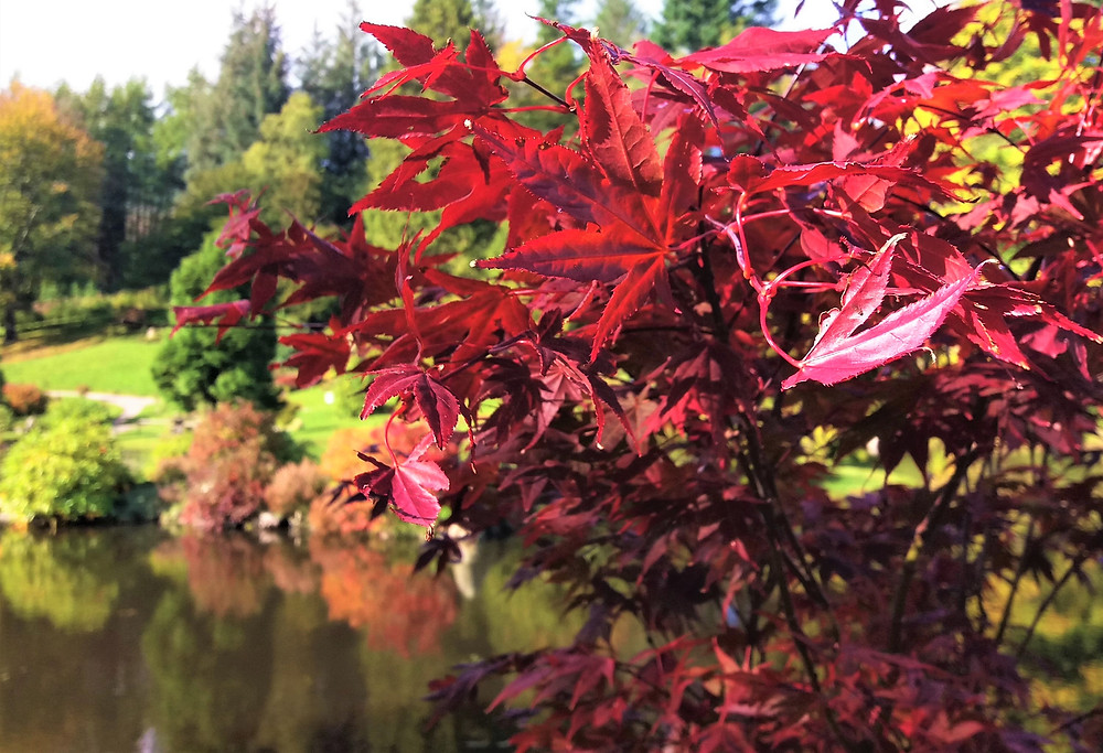 The red maple being reflected in the pond waters below