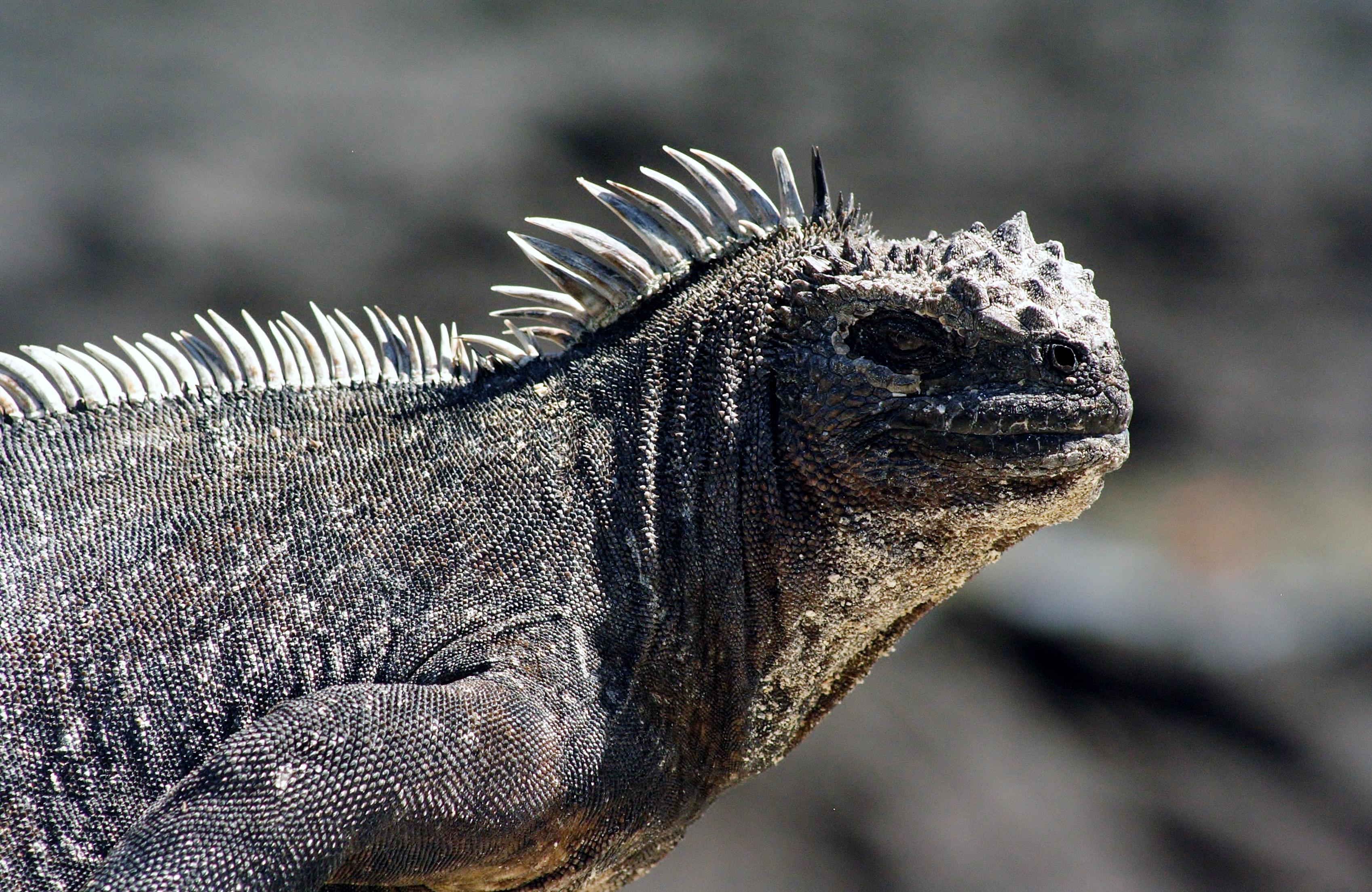 ©MDHarding Marine Iguana