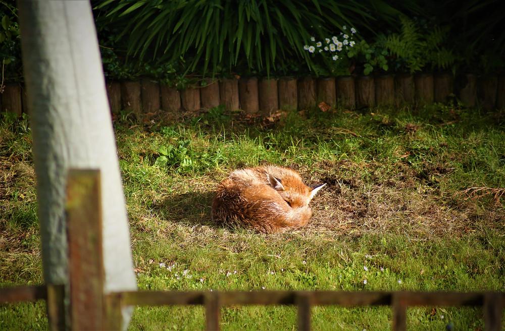 Fox Sleeping on The Lawn.