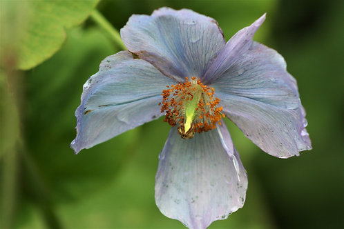Seasonal Gift Cards For all Occasions - Blue Himalayan Poppy