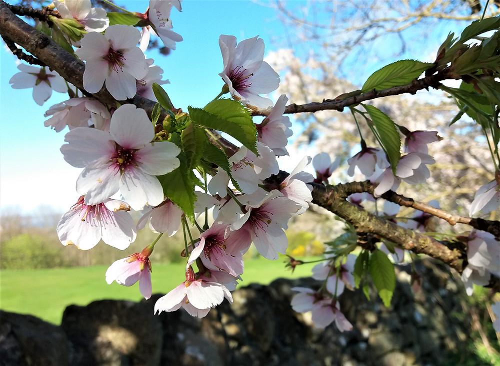 Close-up of cherry blossom flowers.