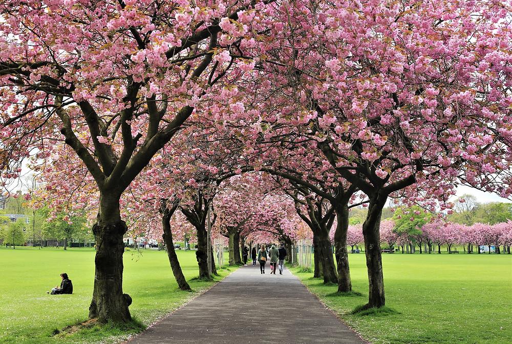 Cherry tree lined avenue.