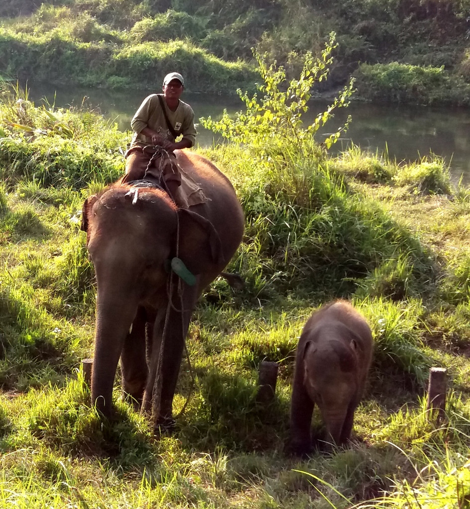 Mahoot, Elephant and Baby In Chitwan National Park
