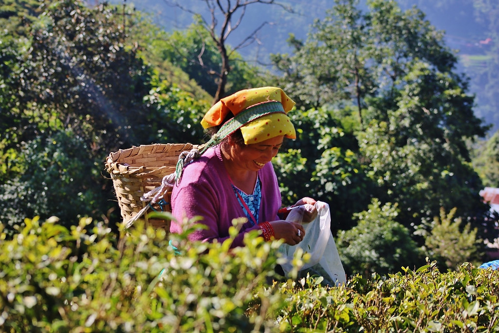 Lady picking Darjeeling tea leaves on a plantation in India.