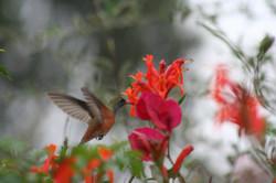 ©MDHarding Hummingbird, Peru