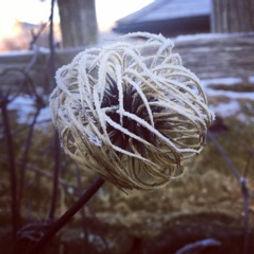 seed head in frost.jpeg