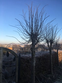 pollarded lime tree winter.jpeg