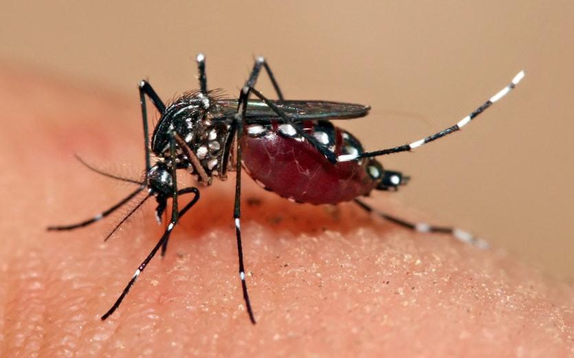 Loài muỗi lan truyền virus Dengue có tên là muỗi Aedes aegypti