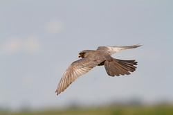 falco-cuculo