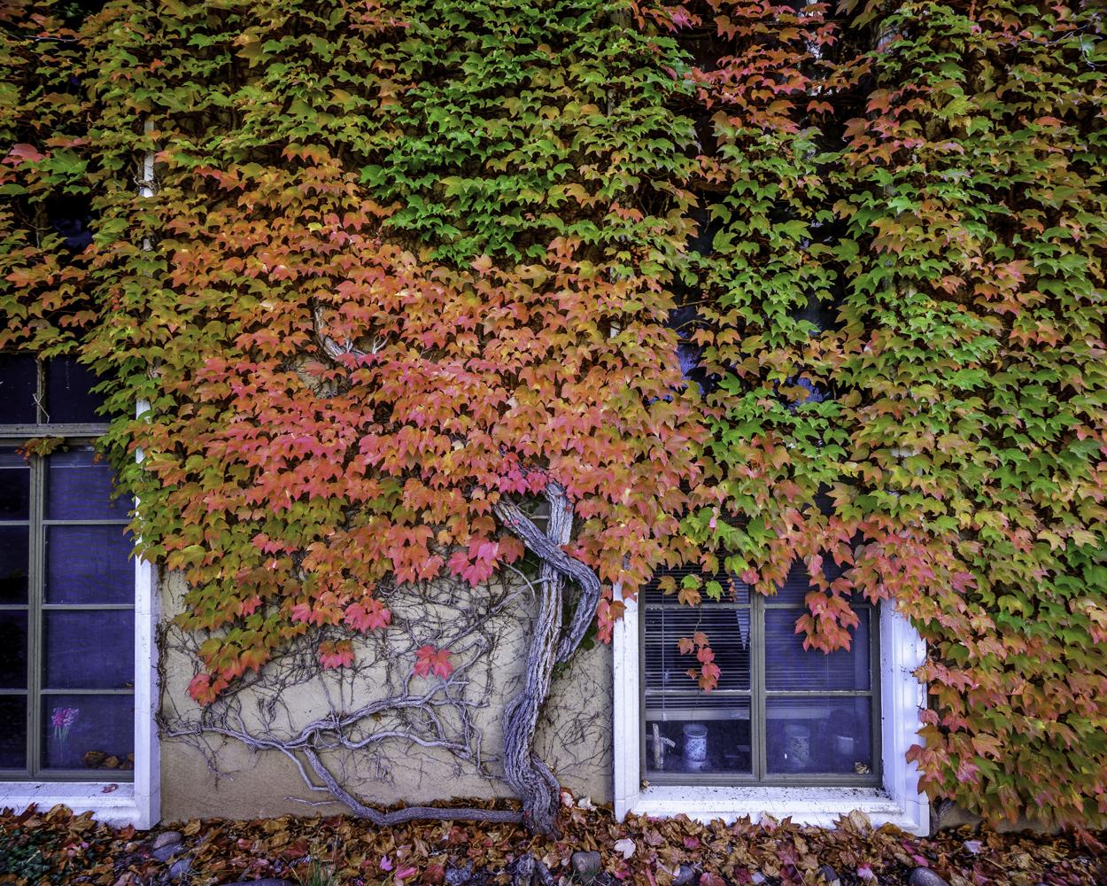 Autumn Vine Wall3