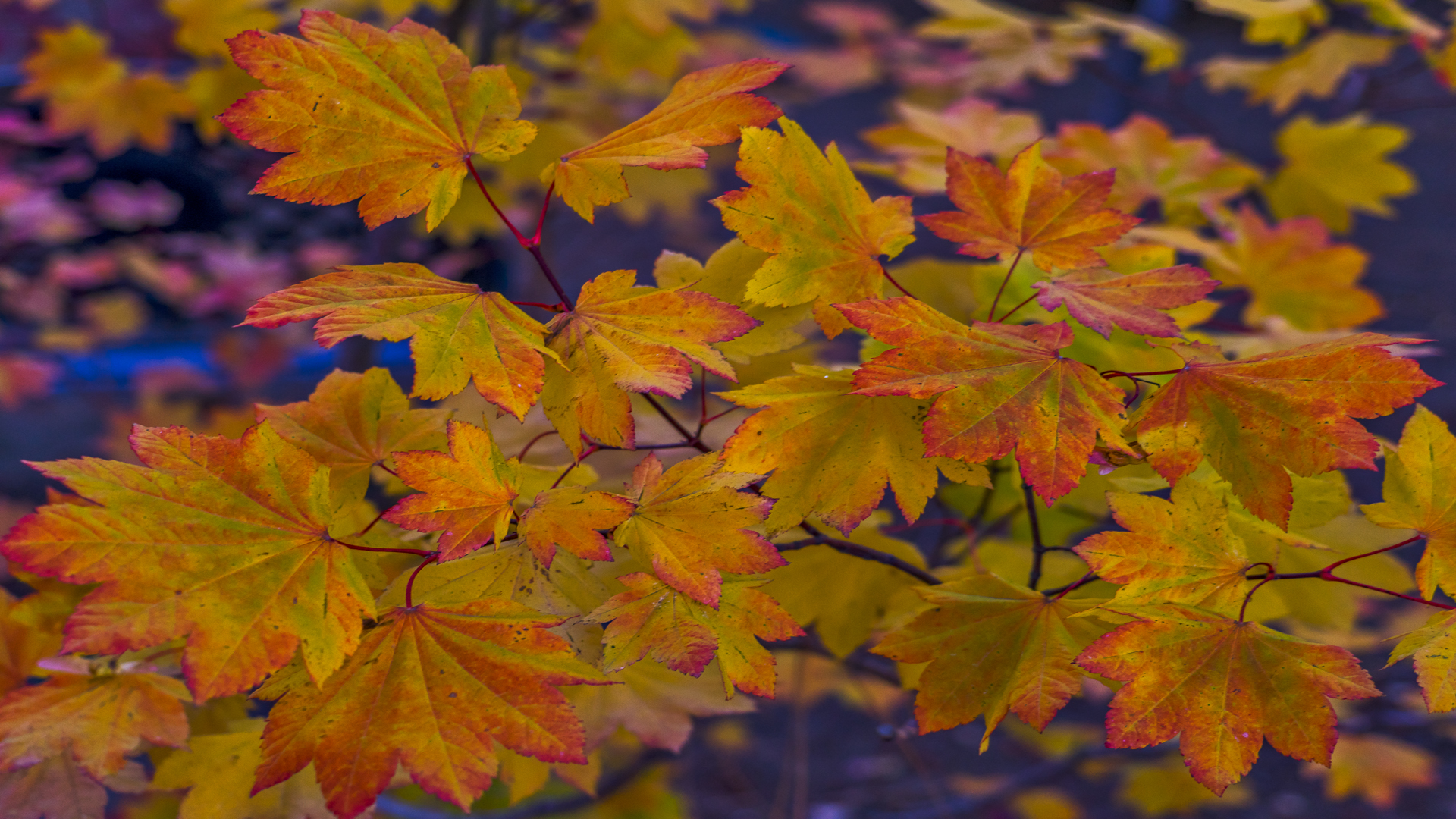Incline Village Fall Color2