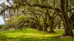 Spanish Moss Oak Trees2a