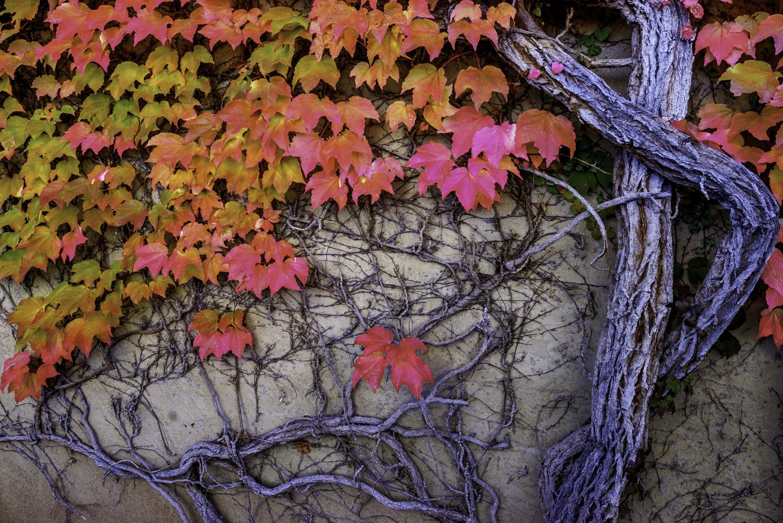 Autumn Vine Wall1