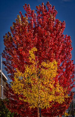 Truckee Fall Color1