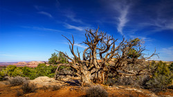 Tree1, Canyonlands Nat'l Park