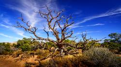Tree2, Canyonlands Nat'l Park
