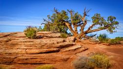 Tree5, Canyonlands Nat'l Park