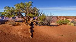Tree4, Canyonlands Nat'l Park