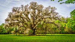 Spanish Moss Oak Trees5a