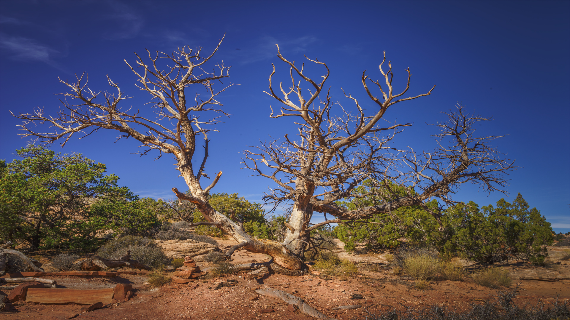 Tree3, Canyonlands Nat'l Park