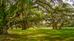 Spanish Moss Oak Trees3a