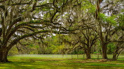 Spanish Moss Oak Trees6a