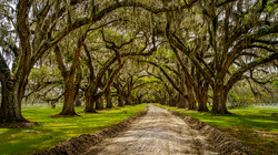Spanish Moss Oak Trees1a