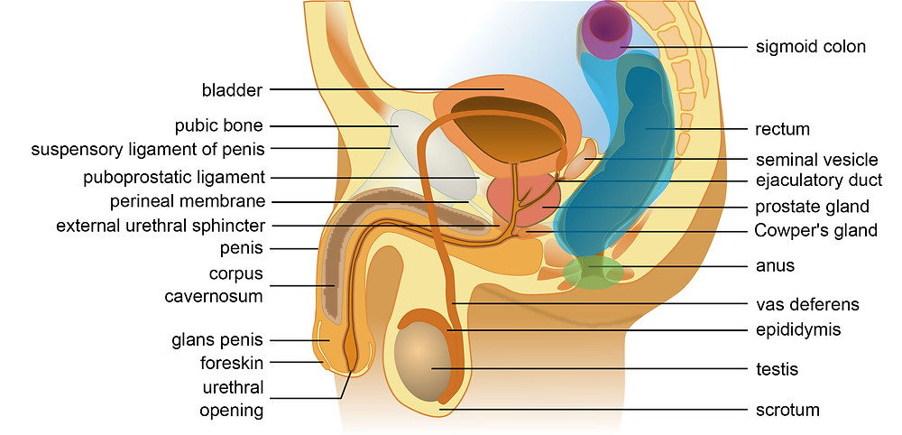 Male anatomy of anus and penis, rectum anus and sigmoid colon