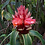 Thumbnail: Costus sp. 'Red Feathers'