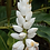 Thumbnail: Alpinia malaccensis 'Giant White Shell'