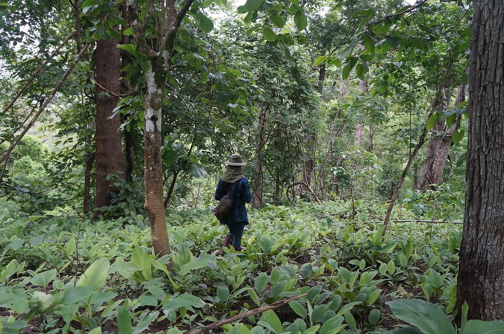 Wild Curcuma field - Thailand