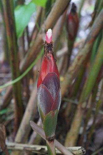 Hornstedia elongata 'Big Horn'
