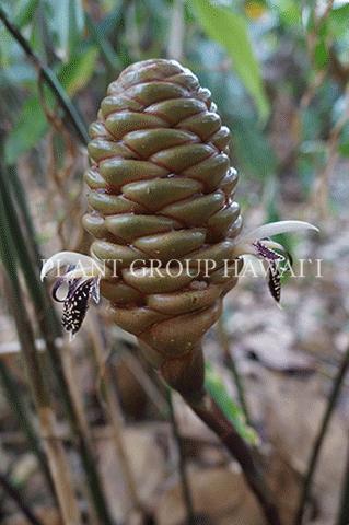 Zingiber sp. 'Borneo Spec'