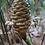 Thumbnail: Zingiber sp. 'Borneo Spec'