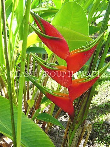 Heliconia bihai 'Lobster Claw II'