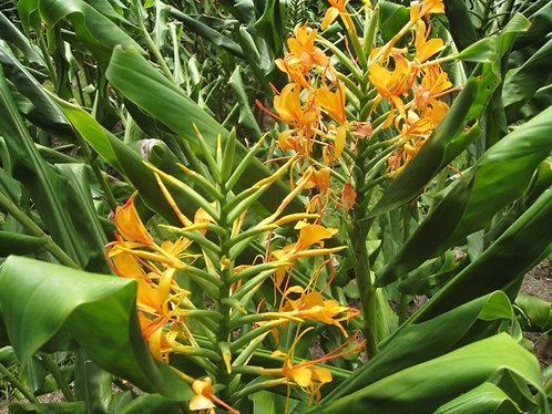 Hedychium hyb. 'Anne Bishop'