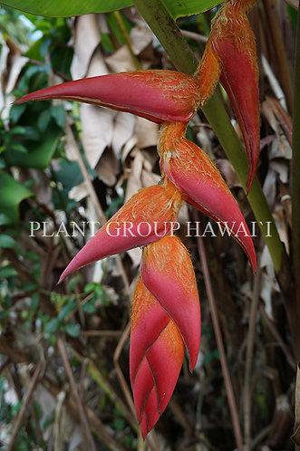 Heliconia regalis 'Regal Red'