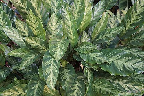 Calathea albertii