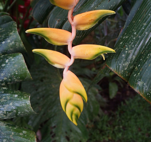 Heliconia rostrata 'Yellow Peru'