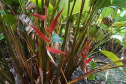 Heliconia vellerigera hyb. 'Red Carpet'