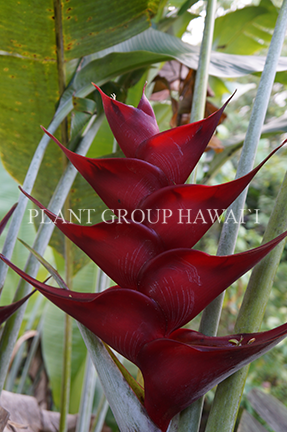 Heliconia caribaea x bihai 'Black Magic'