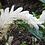 Thumbnail: Alpinia purpurata 'Madikeri White'